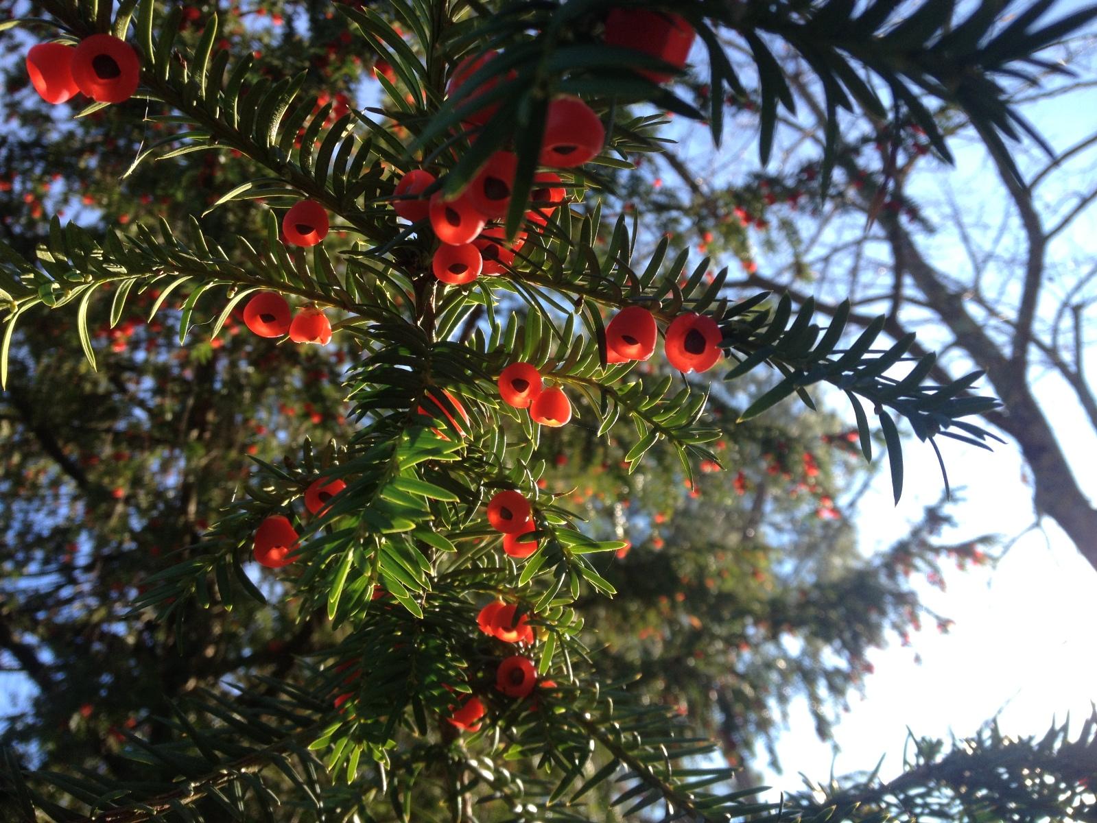 Albero Con Bacche Rosse le piante del castagnolino - l'albero del tasso